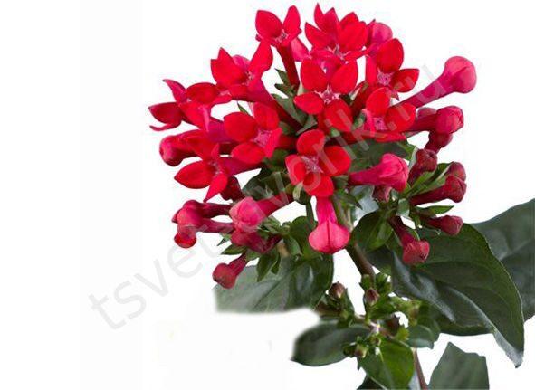 Купить цветы боувардия по москве заказать цветы на дом в санкт петербурге
