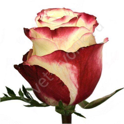 Саженцы роз купить в москве недорого с доставкой