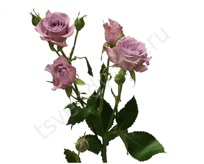 Кустовая роза купить