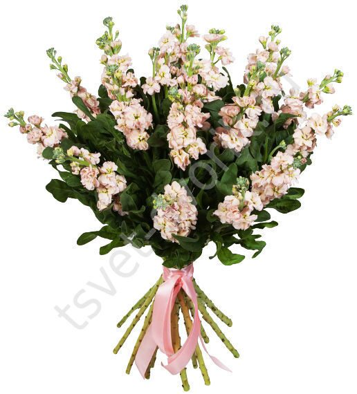 Маттиола свадебный букет, купить цветы в шаблонах теплицах минска